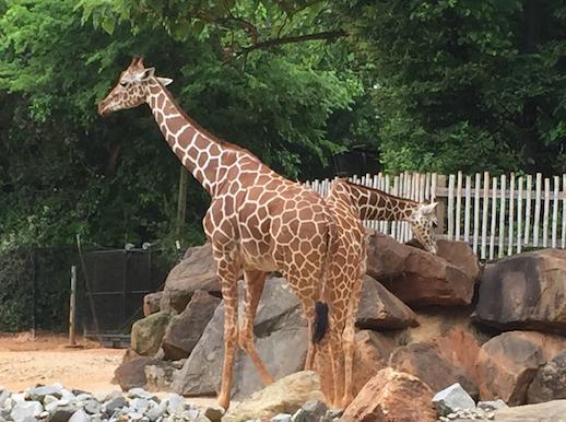 Zoo Atlanta (Kinda looks like a genetically-modified giraffe)
