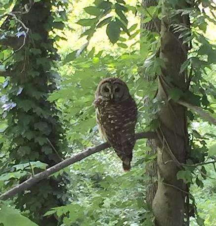 Owl in Our Neighborhood