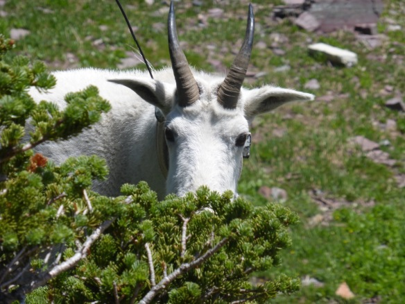 Mountain Goat at Glacier Natl Park. Antenna part of a study.
